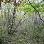 124 - Taillis de hêtres sur le plateau du Carrelet à Savigny - SP