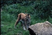 Lynx boreal - Crédit photo : Bernard Bellon