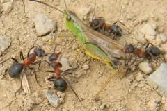 Attaque de fourmis