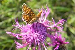 Papillon 19
