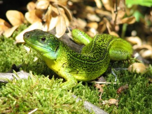 lezard-vert-fort-lecluse-photo-dom-ernst