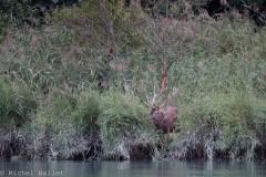 Le Vuache - cerf alpha au bord du rhône bd