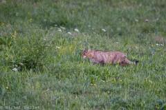 Le Vuache - chat forestier à l'approche -_ bd