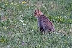 Le Vuache - chat forestier - bd