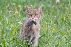Le Vuache - chat forestier et sa proie bd