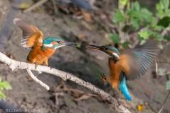 Le Vuache - martin pêcheur prise de becs bd